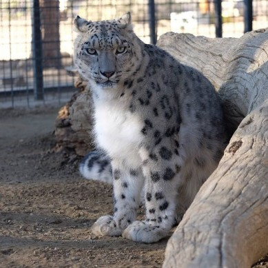 Snow leopard - EFBC's Feline Conservation Center